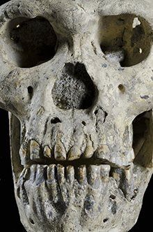 The most recently unearthed individual had a long face and big teeth, but the smallest braincase of all five H erectus skulls found at the site. Photograph: Georgian National Museum