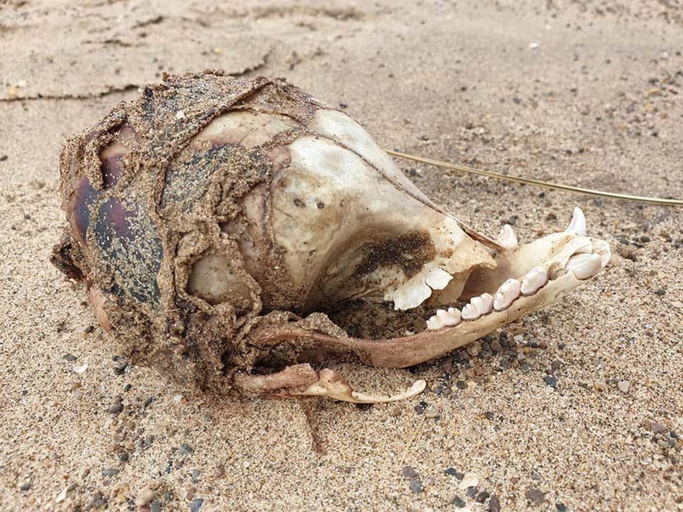 Mysterious skull washes up on UK beach with 'no eye sockets'
