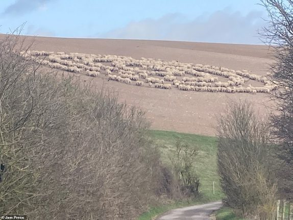 Is that a EWE.F.O? Mystery as hundreds of sheep stand in circle in field as social media users say it looks just like alien ship